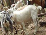 Козлята этого года, дойные козы